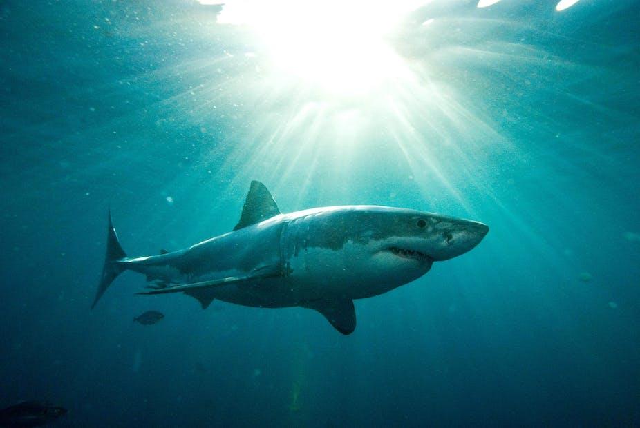 The untold story of shark nets in Australia