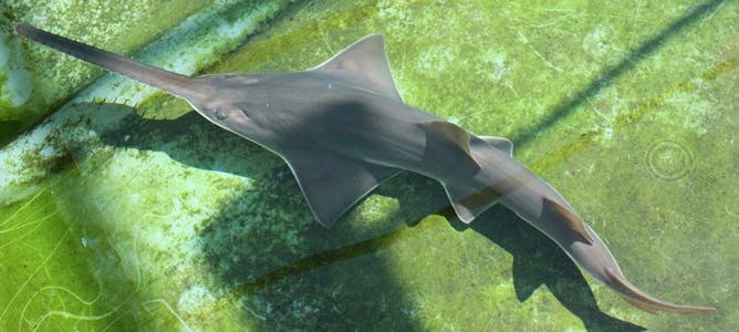 Australian endangered species: Largetooth Sawfish
