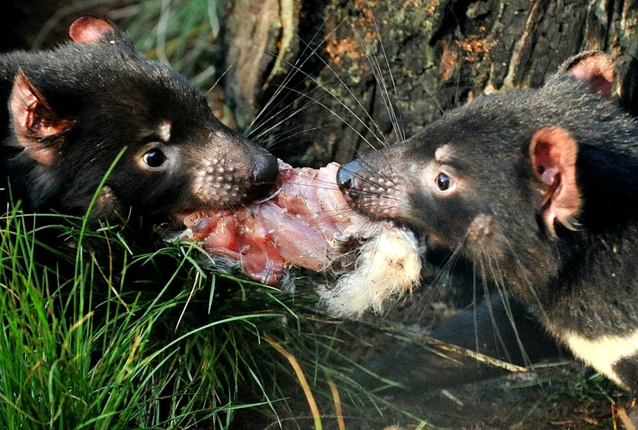 saving the tasmanian devil if not by selective culling then how