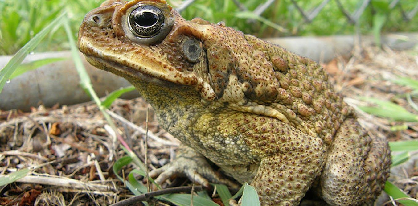 cane and able how superfit toads got the hop on evolution. Black Bedroom Furniture Sets. Home Design Ideas