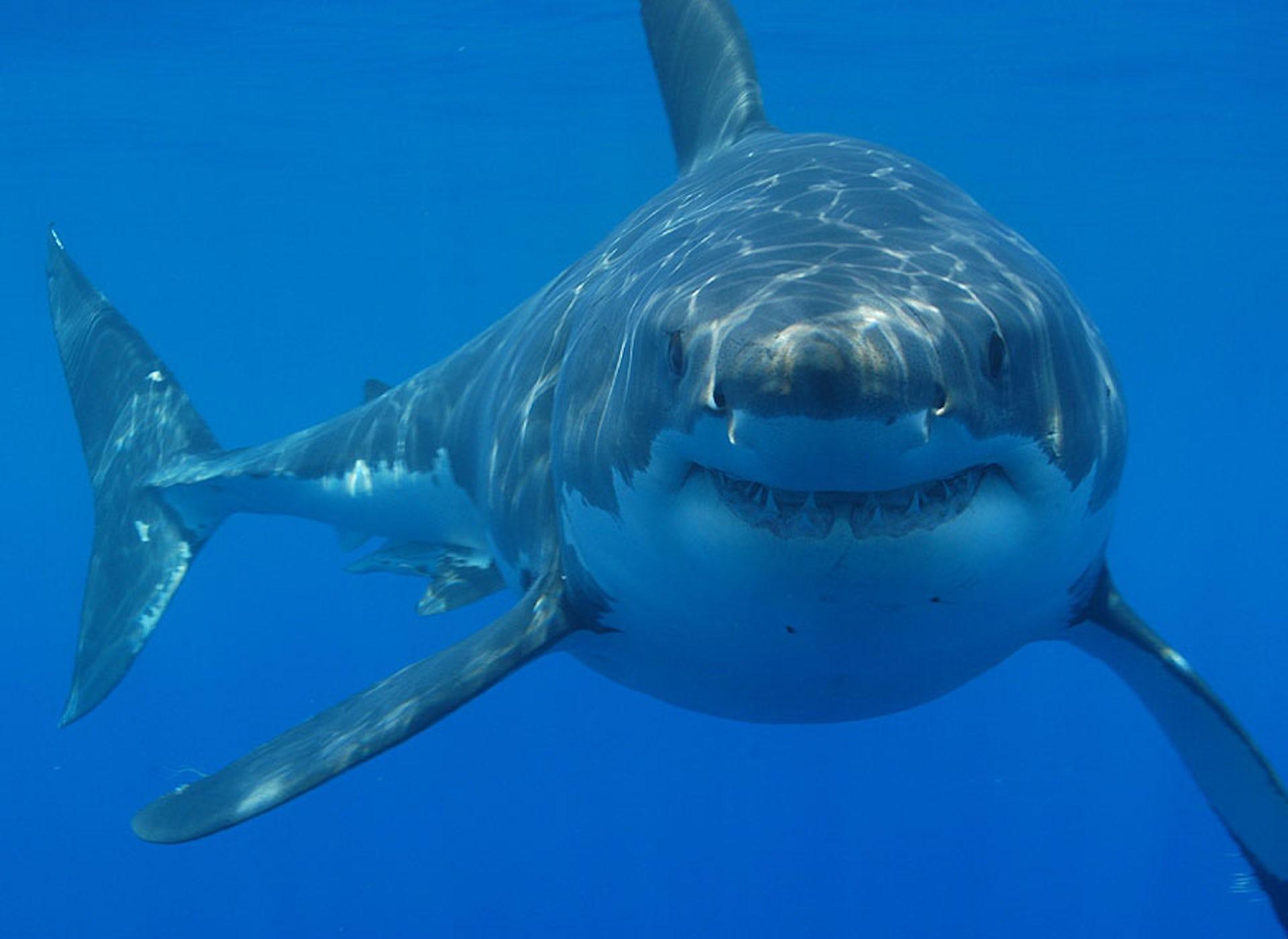 shark culling essay
