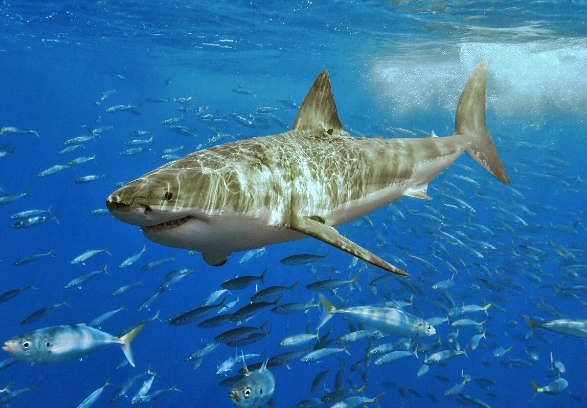 persuasive essay shark culling