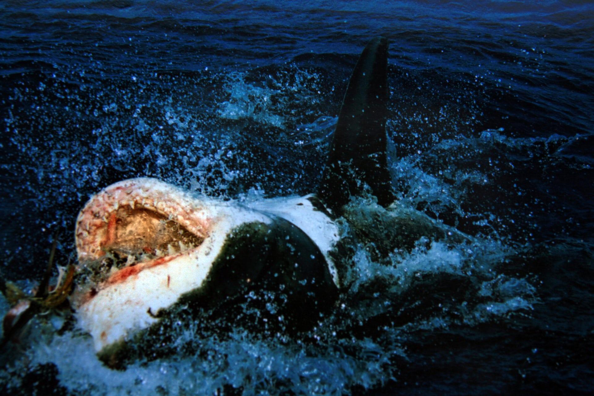 persuasive essay on shark culling