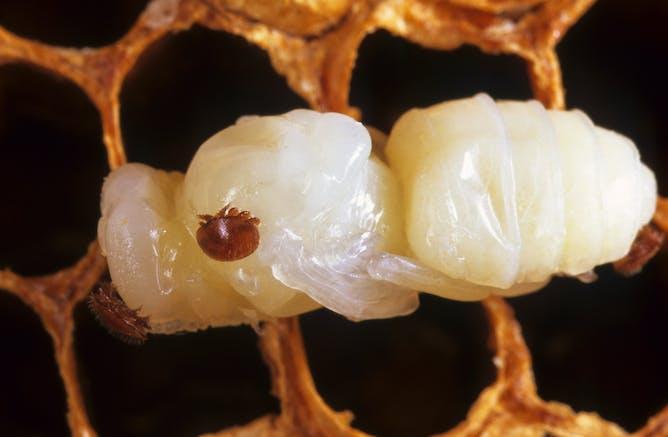 Explainer: Varroa mite, the tiny killer threatening Australia's bees