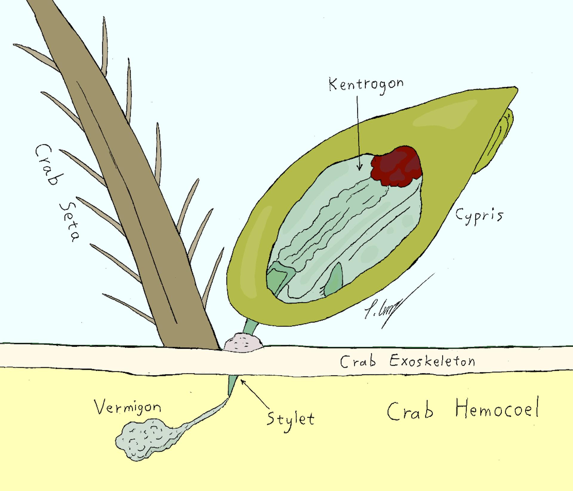 parasites in crabs