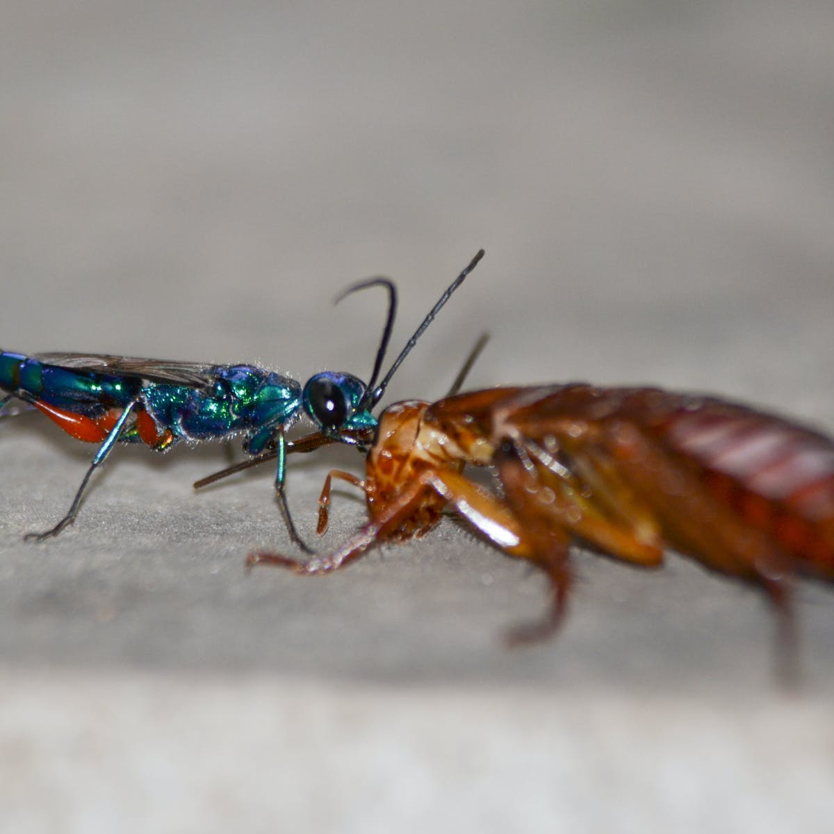 Parasitic wasp turns roaches into zombie slaves using