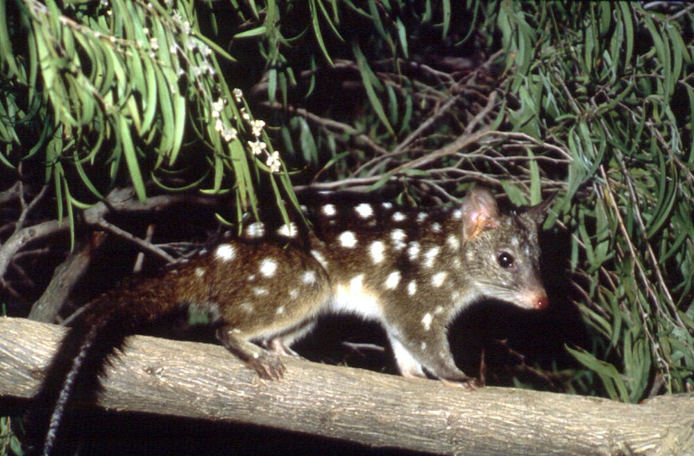 The reintroduction of the western quoll to the Ikara-Flinders Ranges will  need almost $2
