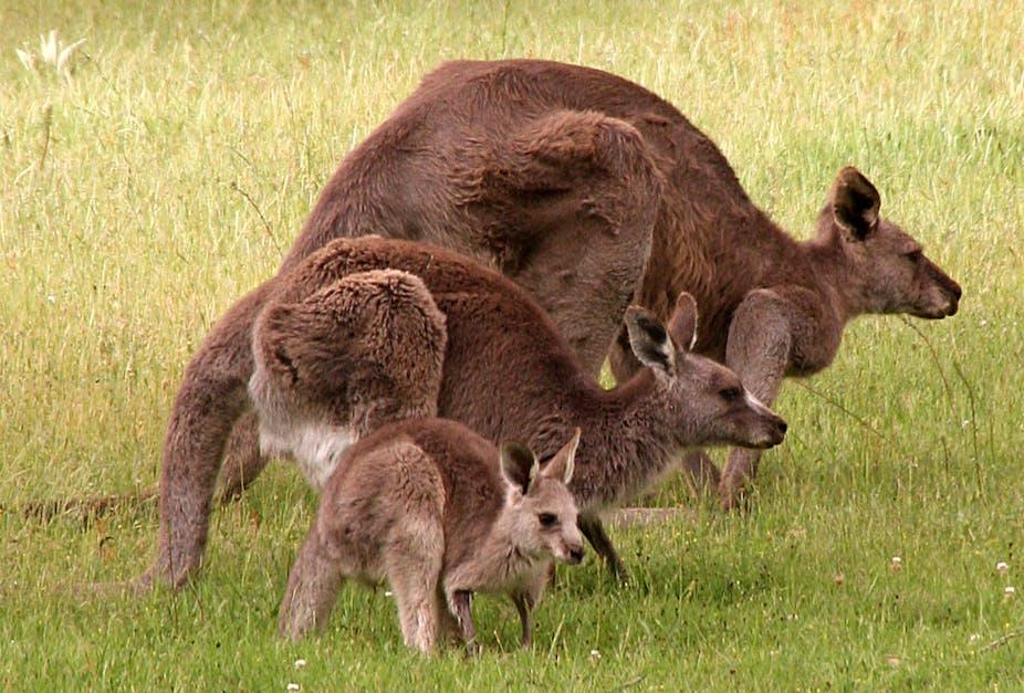 it s raining kangaroos the ups and downs of kangaroo management