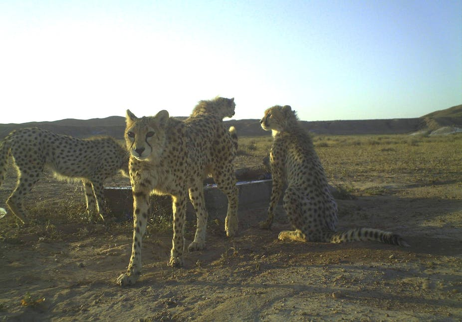 It s still possible to save the Asiatic cheetah 80138cac1