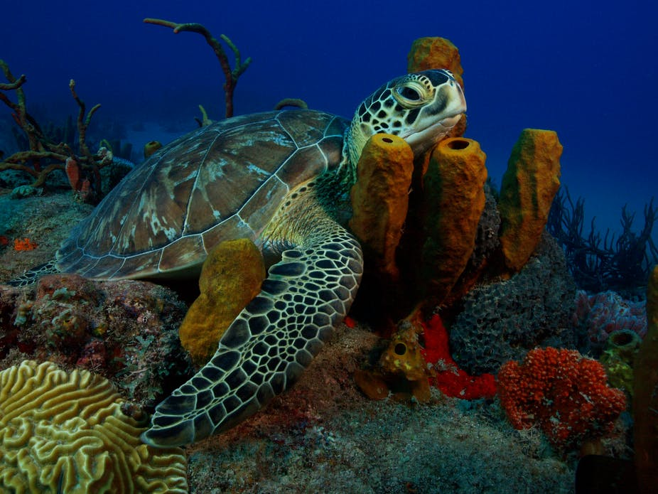 Space tracking reveals turtles' record-breaking ocean swim Pacific Ocean Underwater Animals