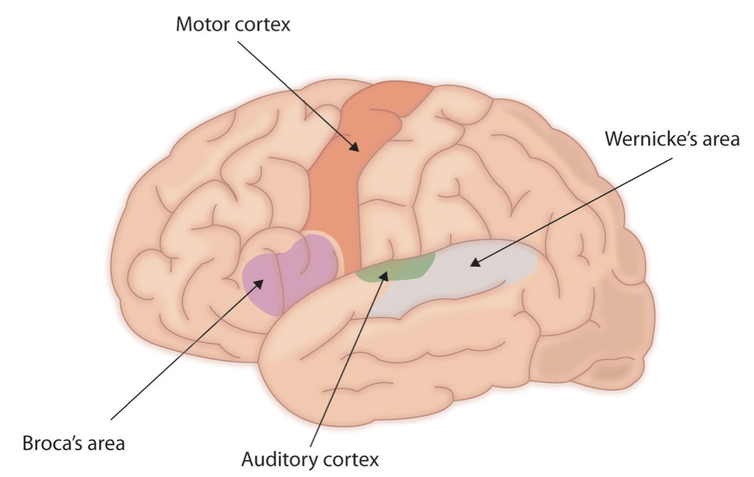 What sign language teaches us about the brain damage to brocas area which is located near the part of the motor cortex that controls the mouth and lips usually gives rise to difficulties in the ccuart Images