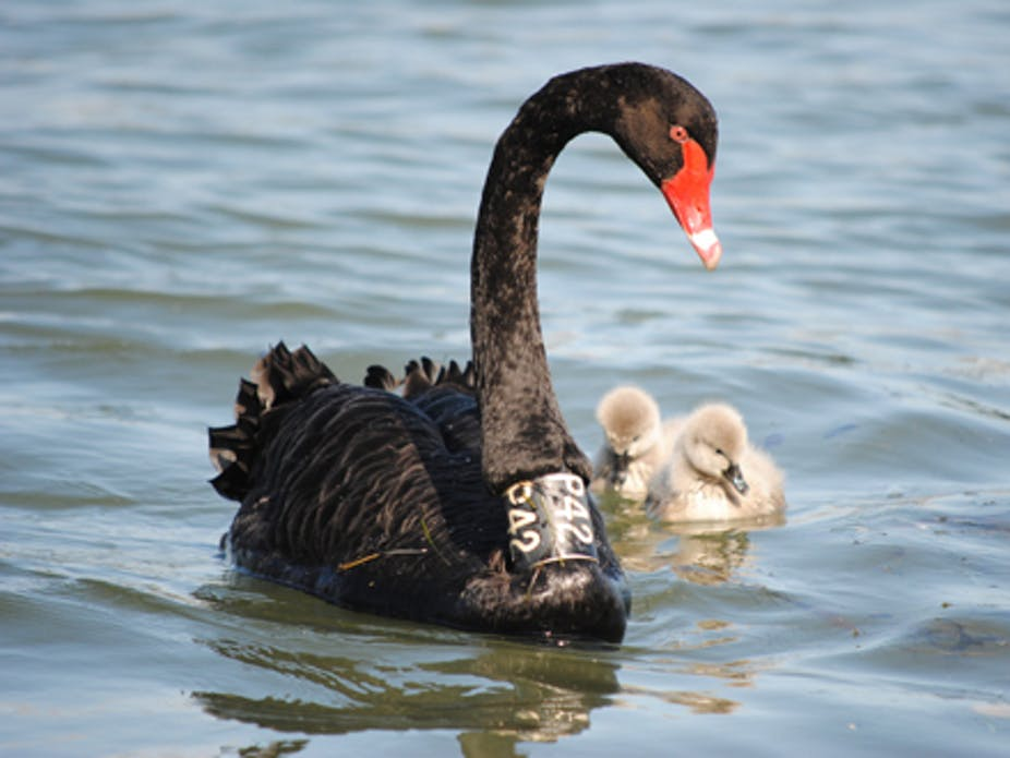 . Citizen scientists  the black swan needs you