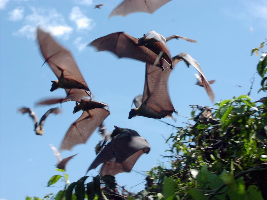 Fruit bats could help predict Ebola outbreaks