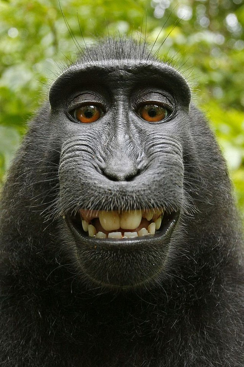 So Who Does Own The Copyright On A Monkey Selfie .smart rope nature eating leopards intelligent monkey family nagano intelligence family capuchin grd2 snow monkeys jigokudani. own the copyright on a monkey selfie