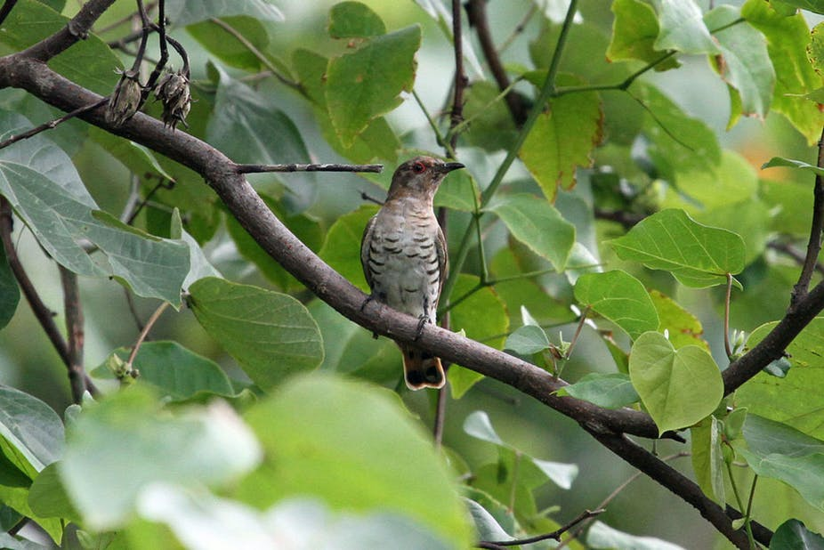 cuckoos beat competition by laying cryptic eggs