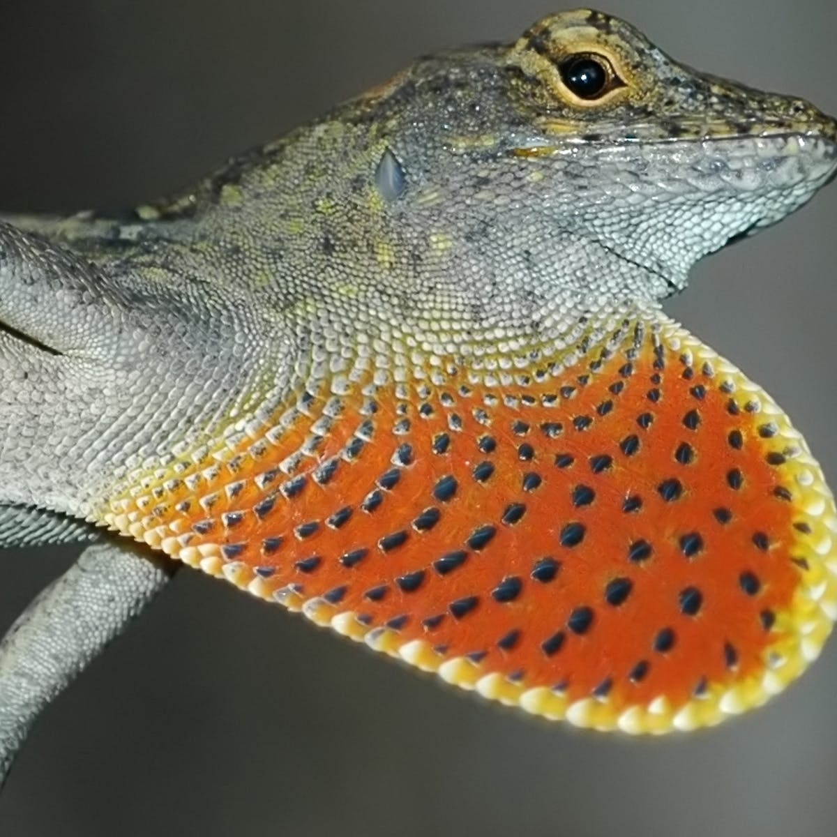 Rapidly evolving lizards show how some creatures can adapt
