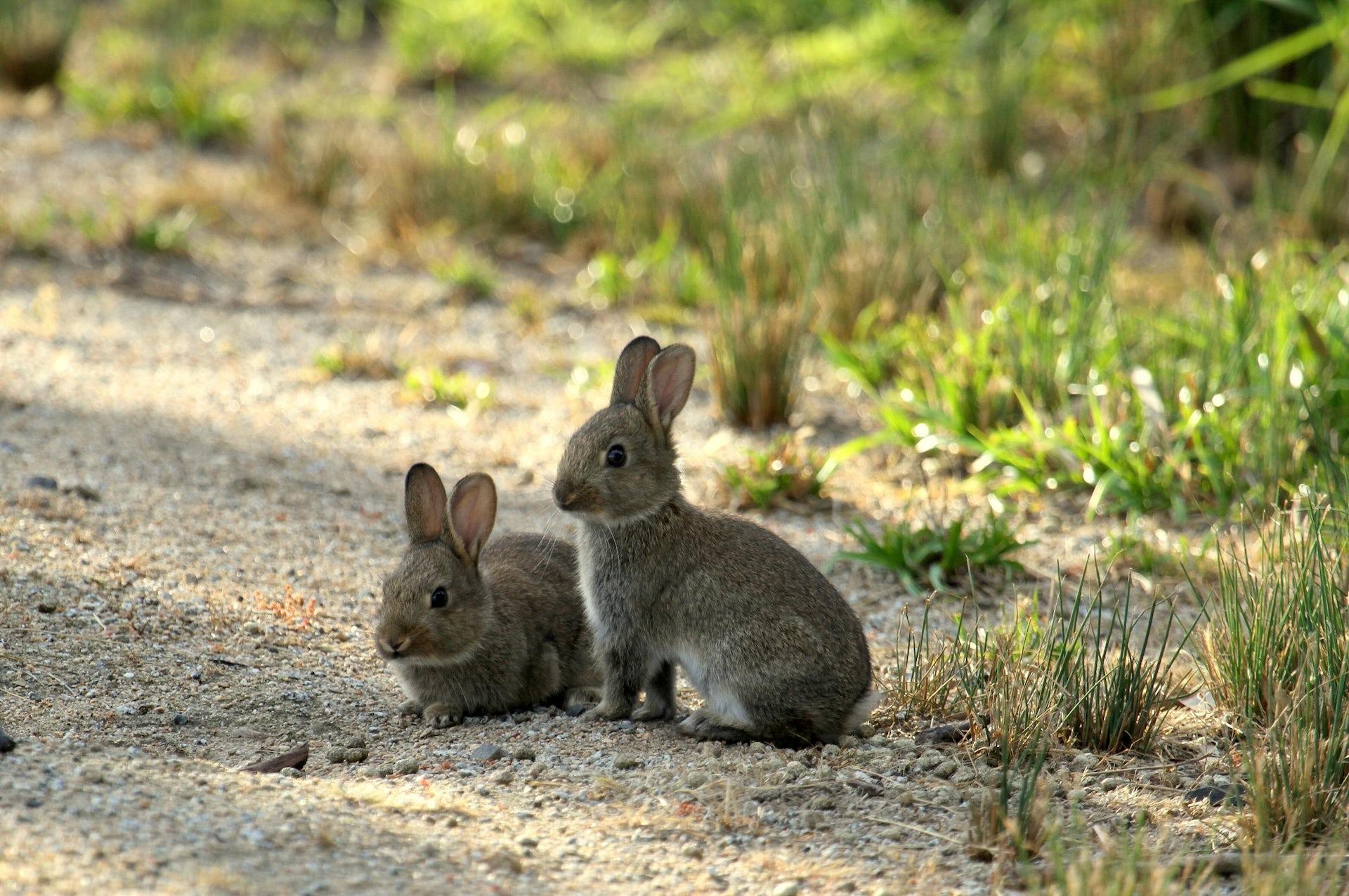 explainer: how 'biocontrol' fights invasive species