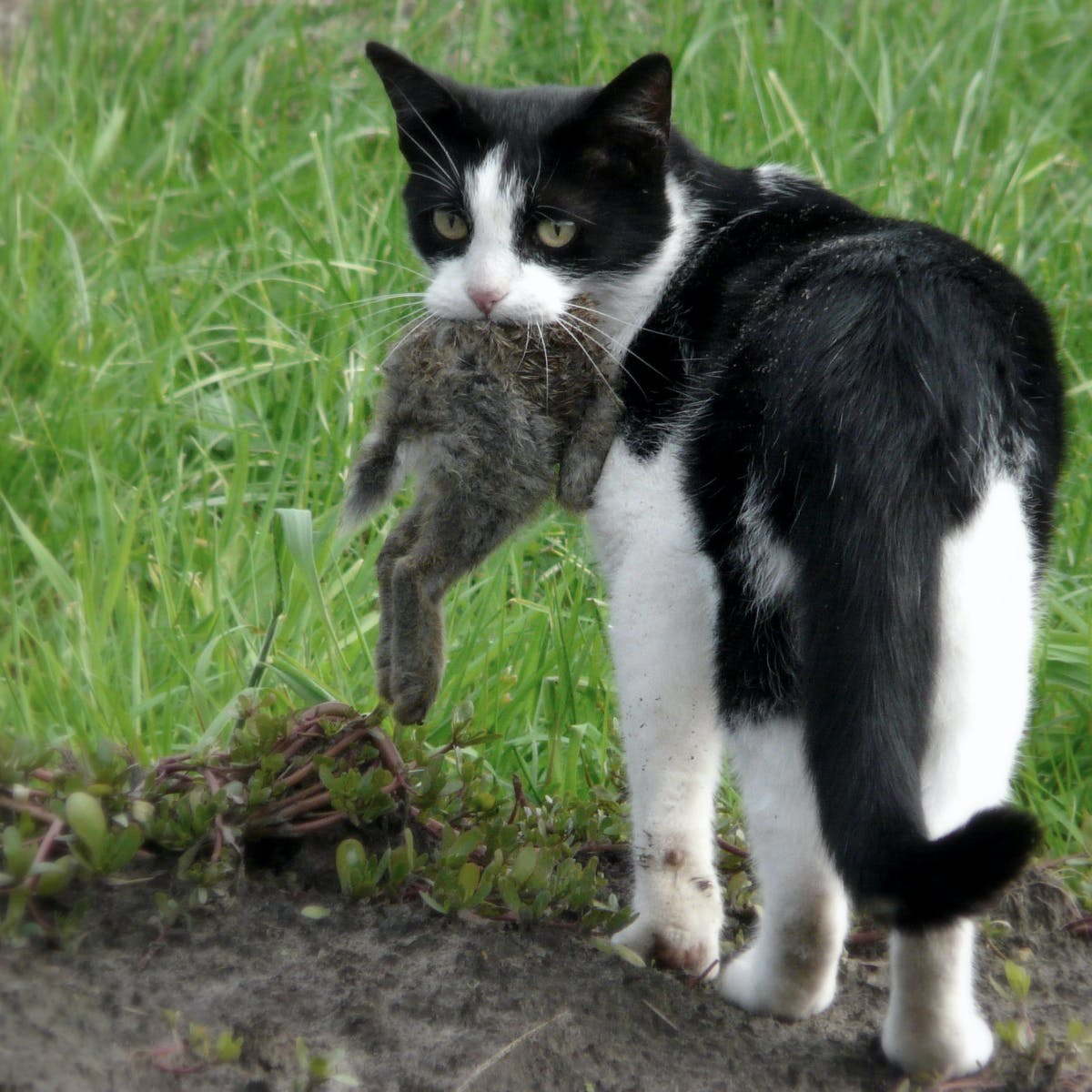Toxoplasmosis: how feral cats kill wildlife without lifting