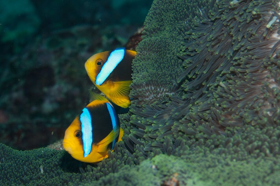 Nemo and chips? Tropical fish are fleeing warming waters and