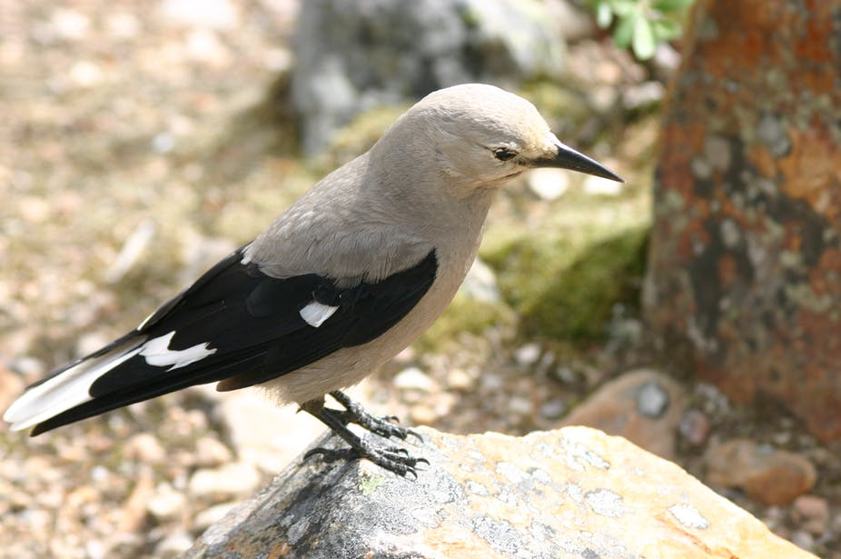 Winged Avatars Of Memory And Return >> Inner Gps Of Bird Brains May Be Better Than That Of Humans