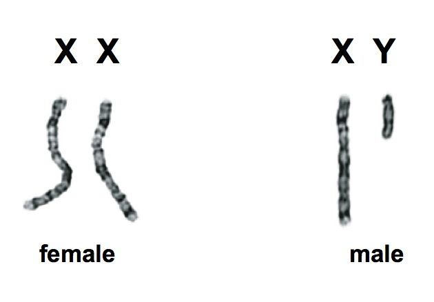 X and y sex chromosomes