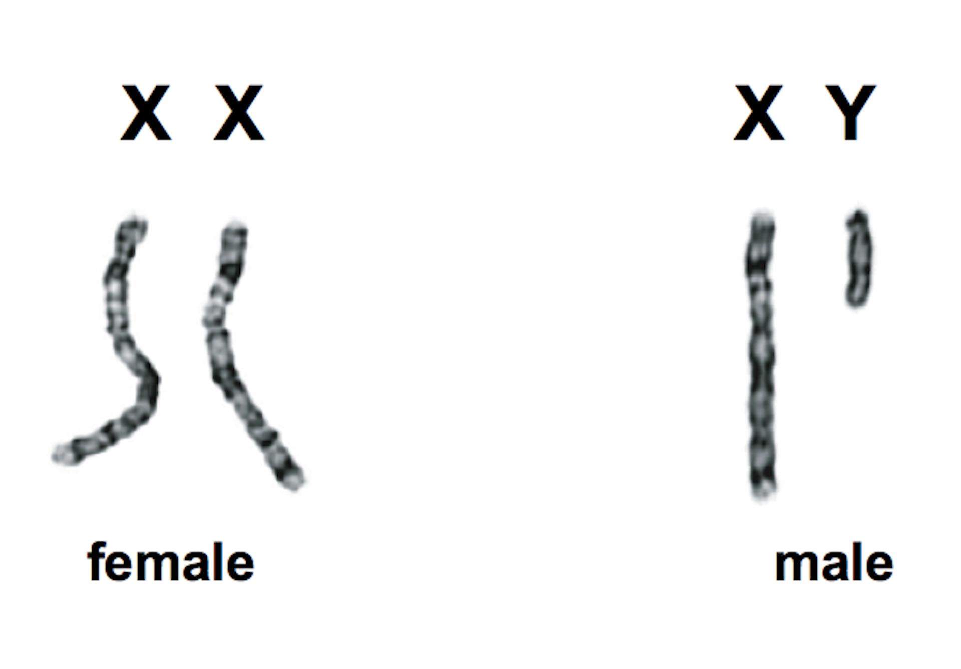 Sex cromosomes