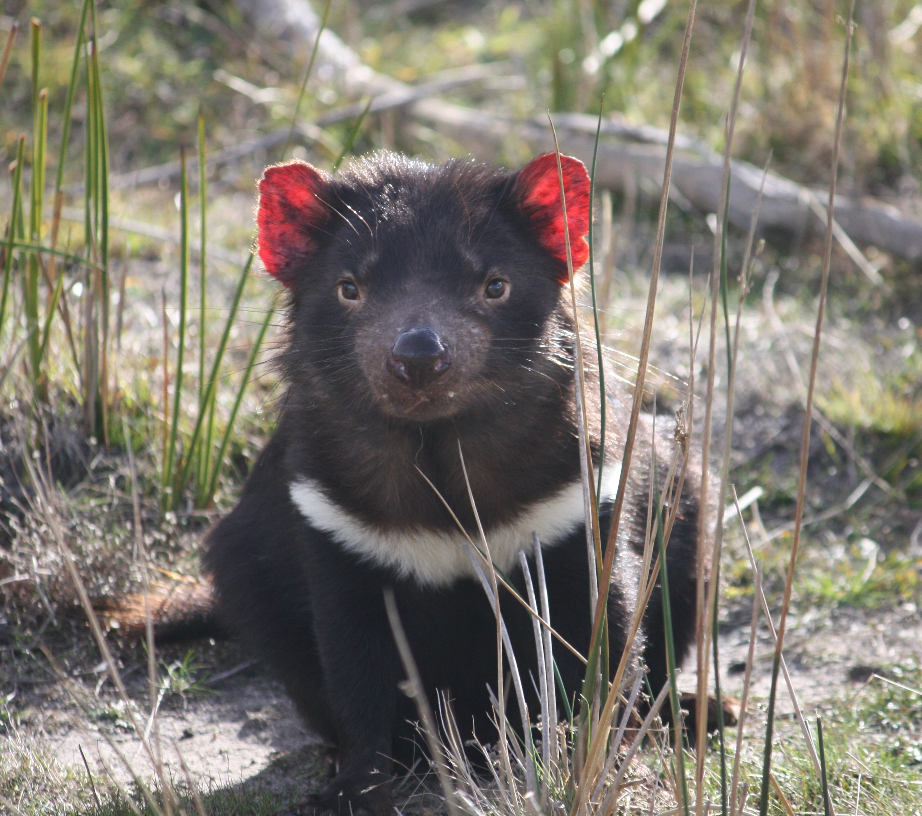 evolution on tasmainian devils essay Tasmanian devil the tasmanian devil is a nocturnal marsupial during the day, it hides in bushes and in logs this is when the devil gets its sleep.