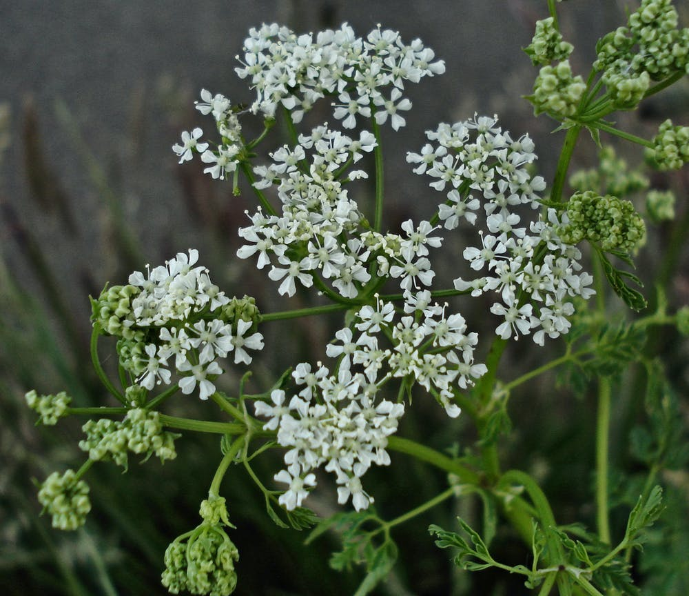 Meet Five Of The Uks Most Poisonous Plants