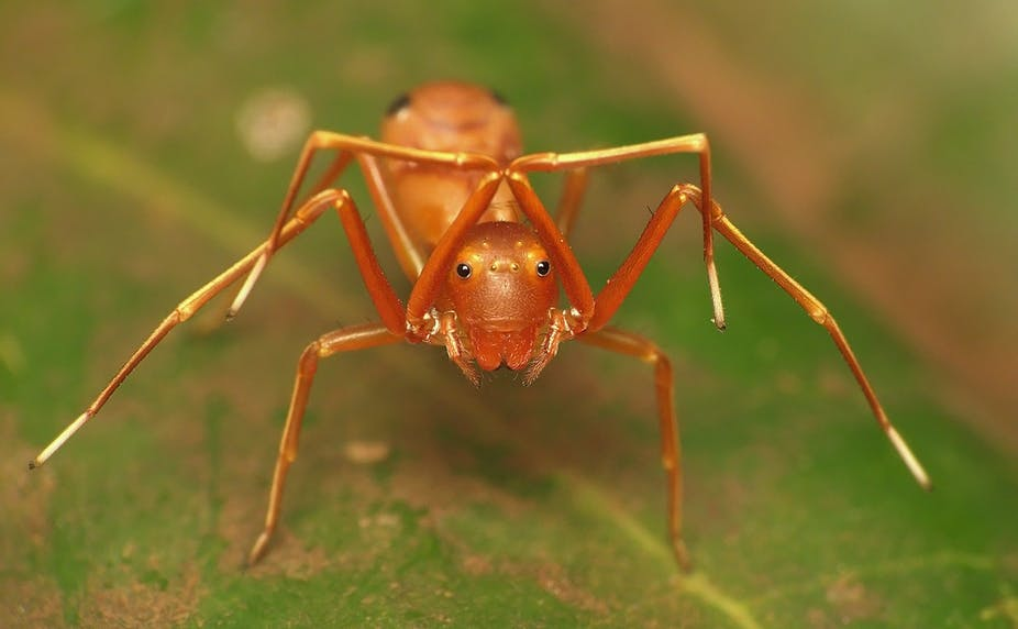 Spiders Disguise Themselves As Ants To Hide And Hunt Their Prey