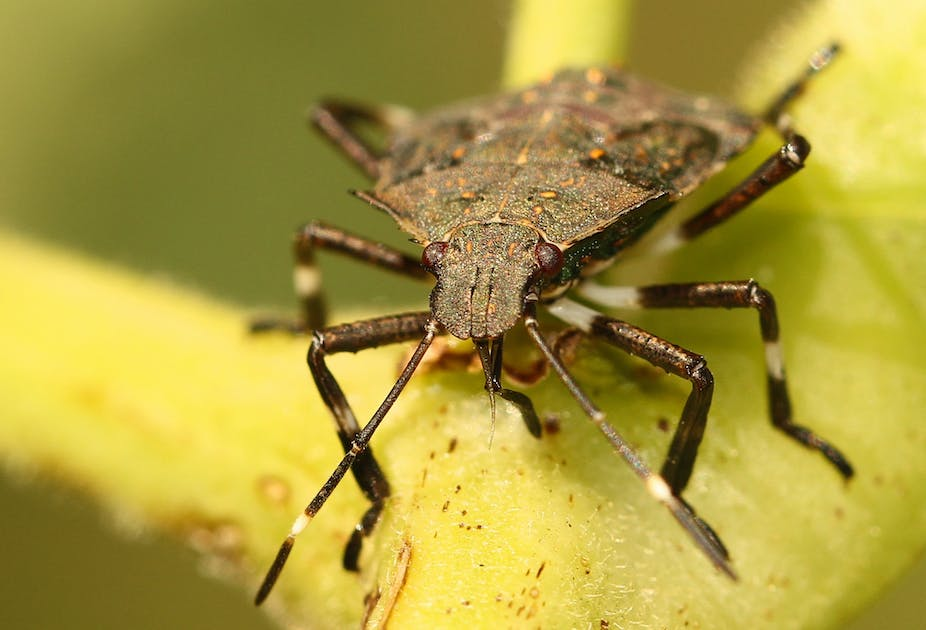In defence of the stink bug