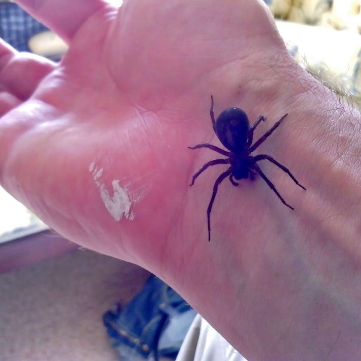False Widow Death Was A Tragedy But It Wasn T Spider Venom That Was To Blame