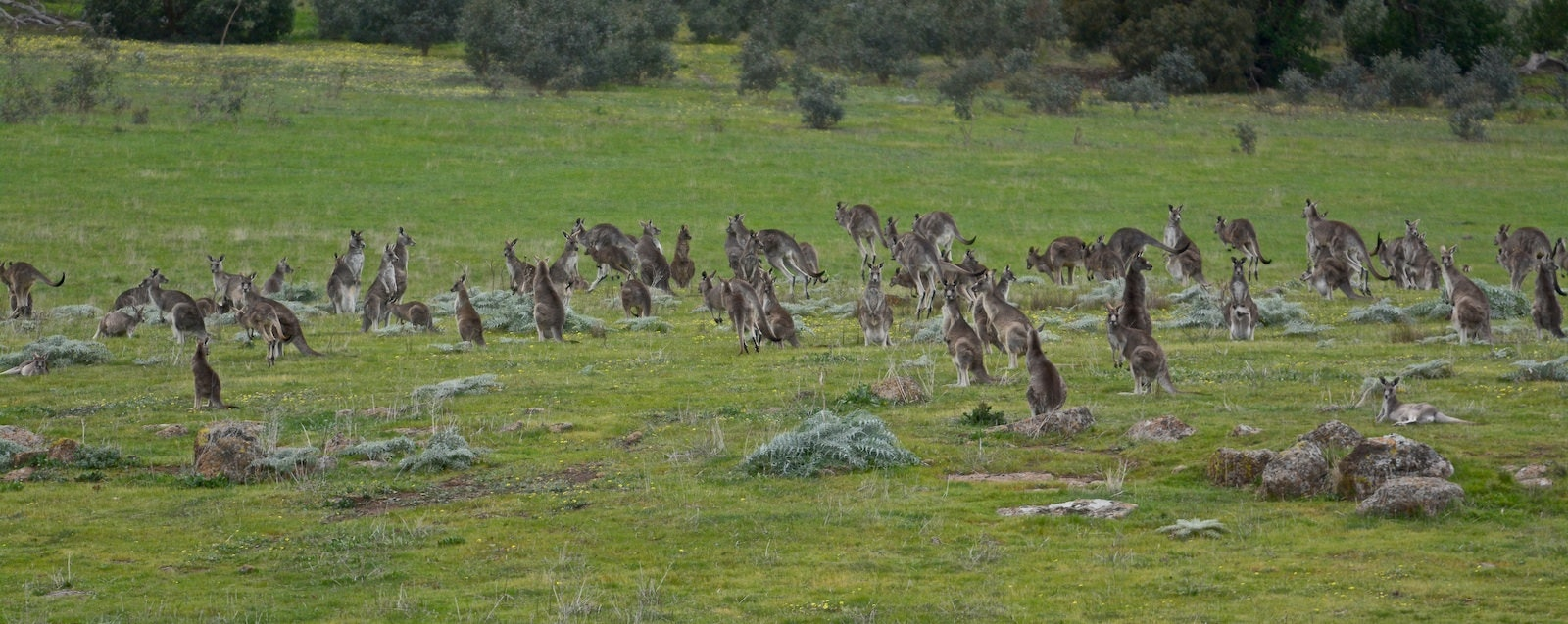 new evidence culling kangaroos could help the environment