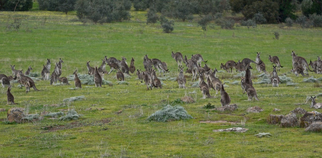 Could Team New Zealand Help Us Innovate In Education: New Evidence: Culling Kangaroos Could Help The Environment