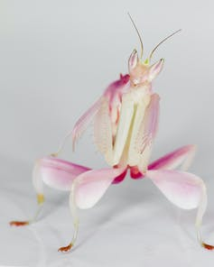Secrets of the orchid mantis revealed – it doesn't mimic an orchid