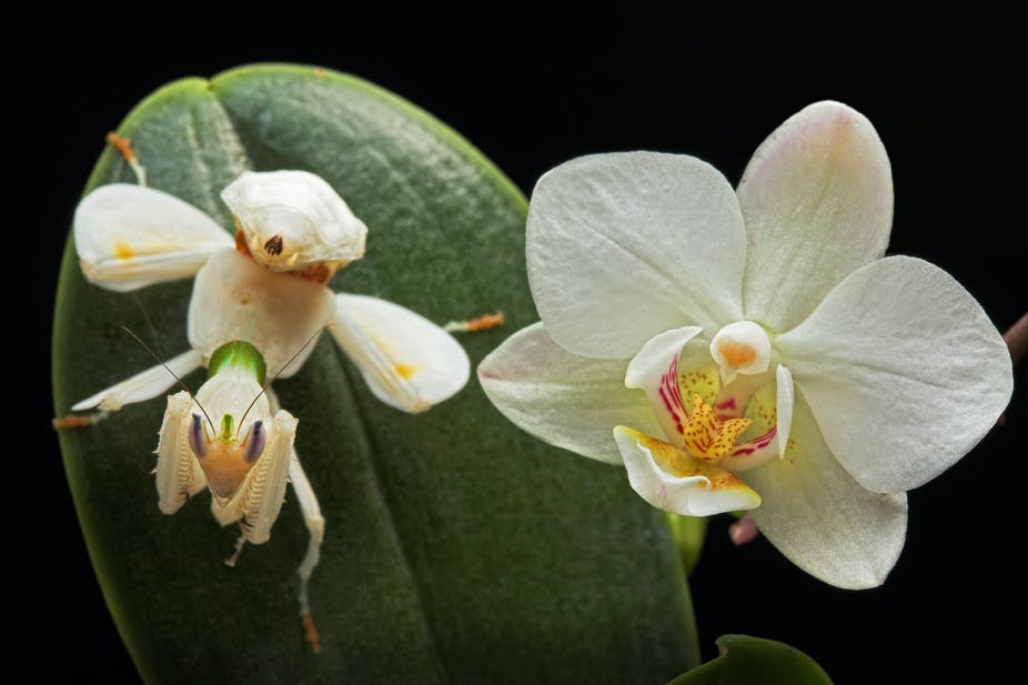 secrets of the orchid mantis revealed  it doesn't mimic an orchid, Beautiful flower