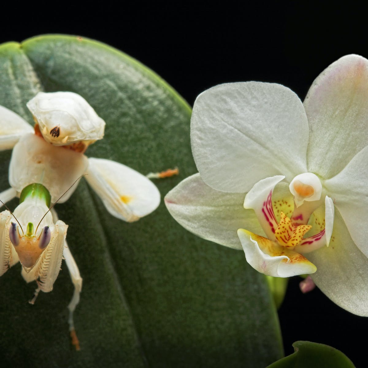 Secrets Of The Orchid Mantis Revealed It Doesn T Mimic An Orchid