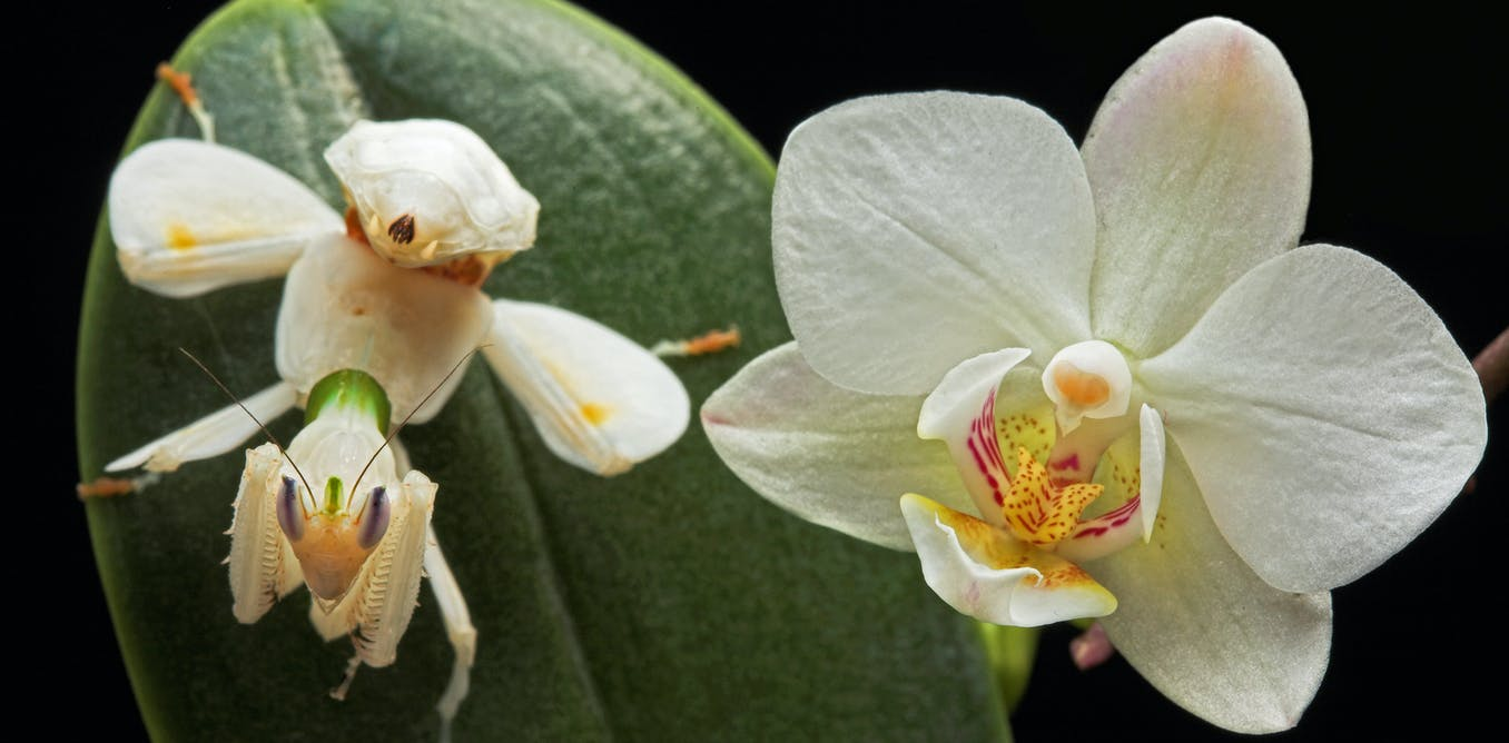 Secrets Of The Orchid Mantis Revealed It Doesnt Mimic An Orchid