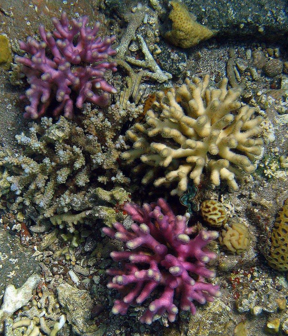 Stylophora pistillata in purple and beige. Wiedenmann / D'Angelo
