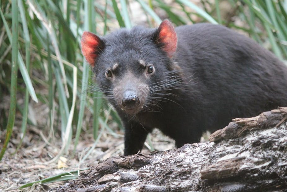 can tassie devils control feral cats the devil is in the detail
