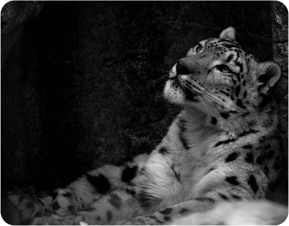 Saving The Snow Leopard Stem Cell Generation A Bright New Hope