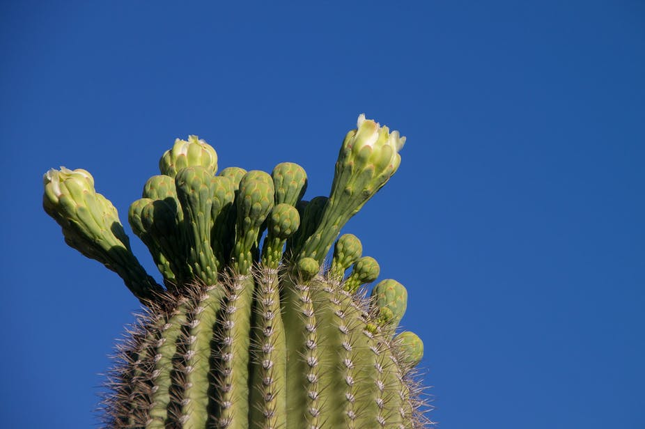 Why Are Cacti So Juicy The Secret Strategy Of Succulents