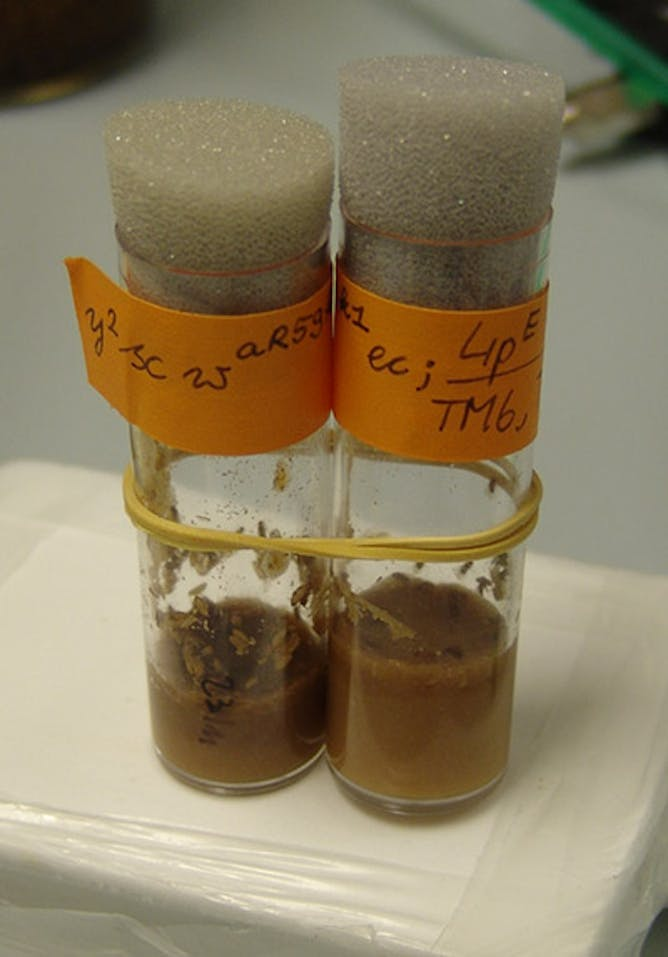 ode to the fruit fly tiny lab subject crucial to basic research drosophila melanogaster spend much of their time in the lab in tubes like these trick17 cc by