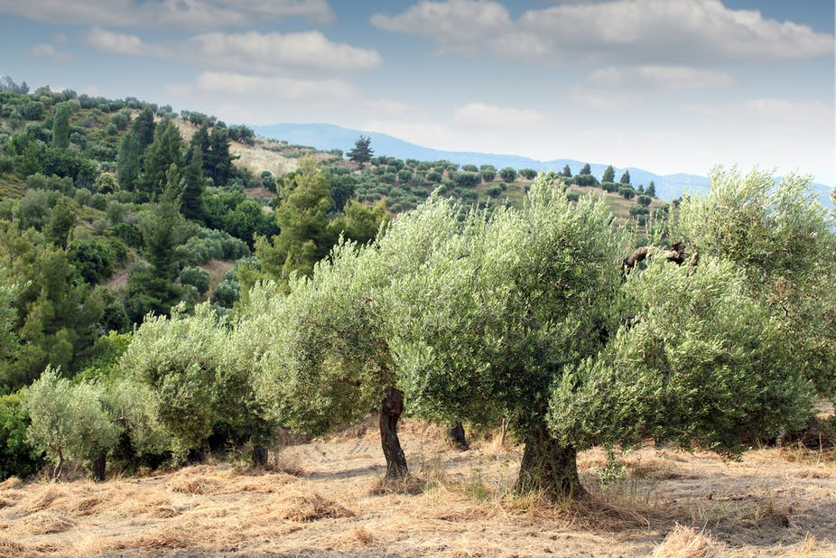 The Famous Olive Trees Of Puglia Are Ravaged By Disease Here S