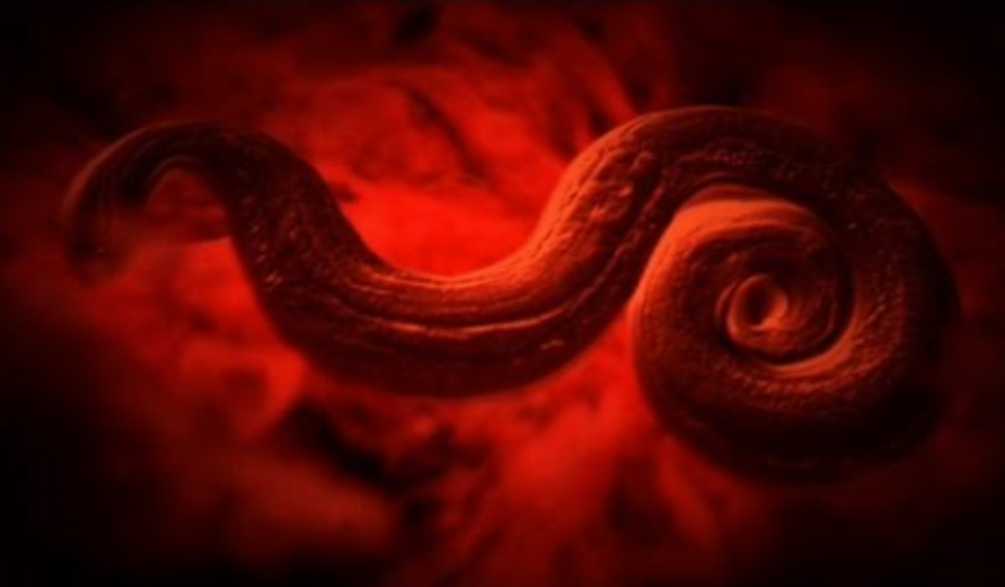 Five deadly parasites that have crossed the globe