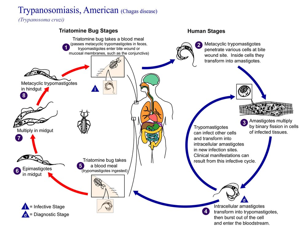 reduviid bug life cycle