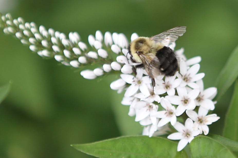 Bee battles: why our native pollinators are losing the war