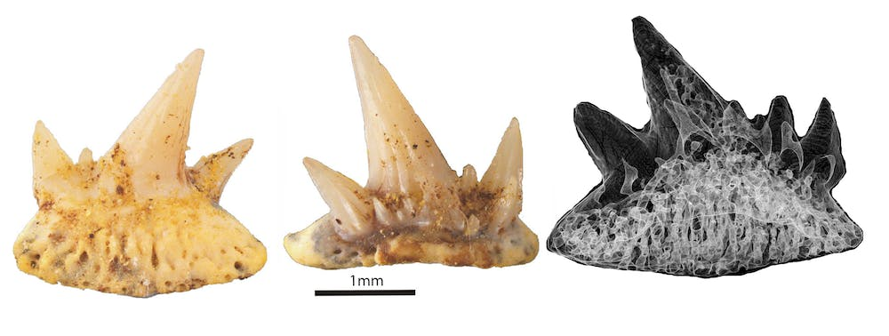 No bones about it: sharks evolved cartilage for a reason