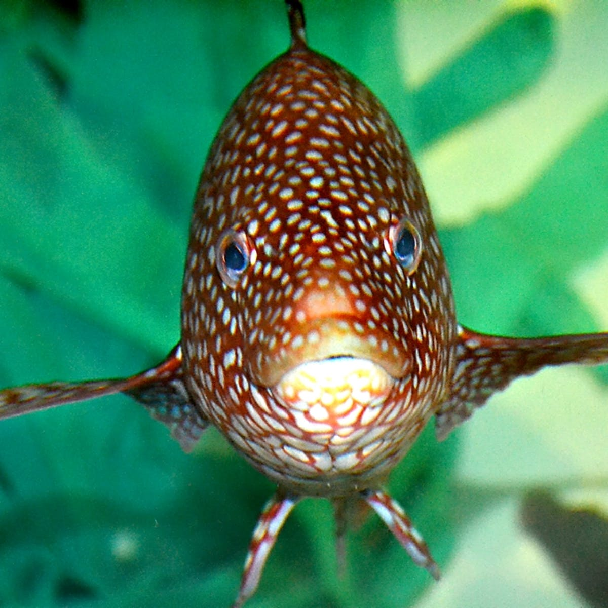 Cute, colourful and not that tasty – but the cleaner fish could save
