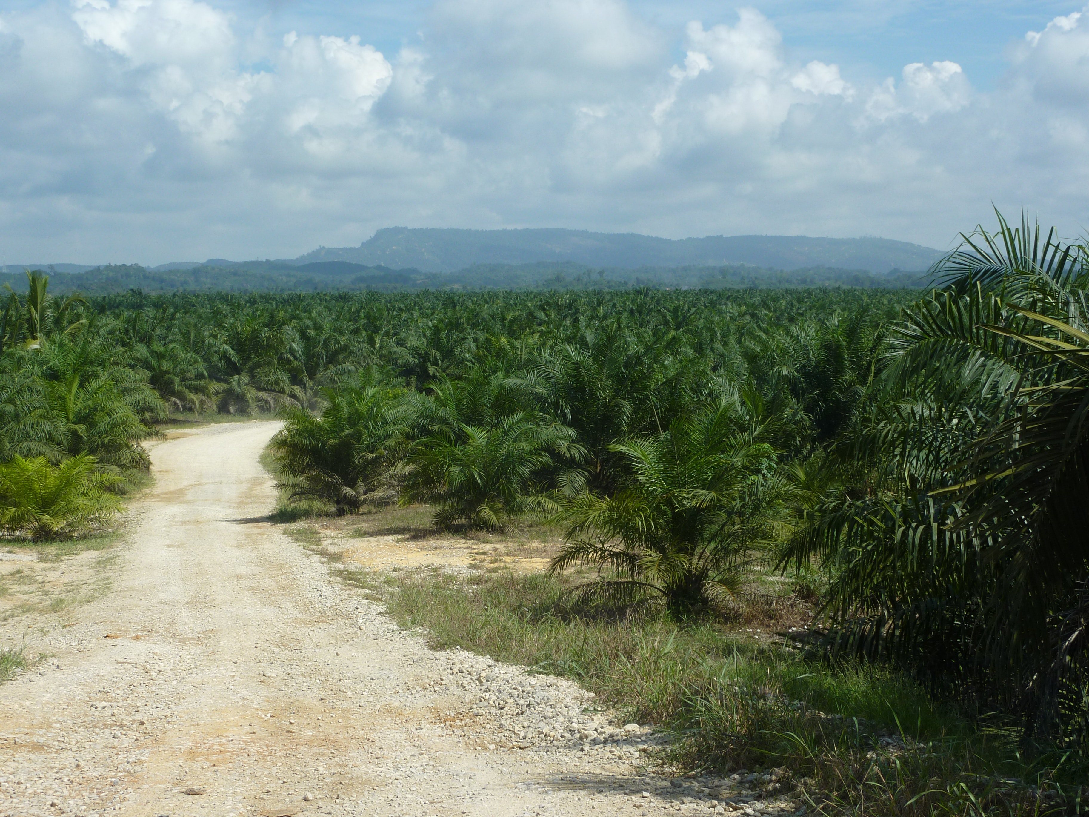 multinational oil palm plantation company kidsa Our oil palm plantations are strategically located in the various regions of malaysia and indonesia where the wilmar international ltd.