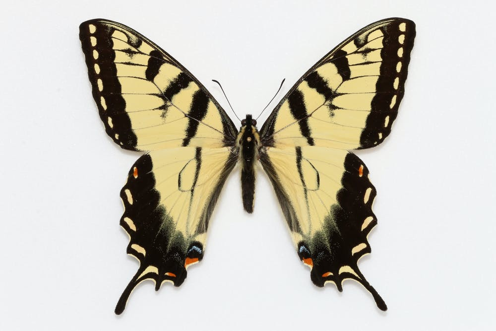 Why we still collect butterflies